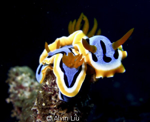 I found this Nudibranch Chromodoris Annae love to the oth... by Alvin Liu 